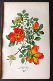 Step 1896 Antique Botanical Print. Austrian Briar Rose 81